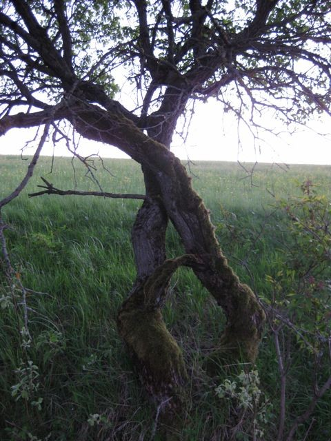 verschlungene Bäume in Heubach (Masserberg)