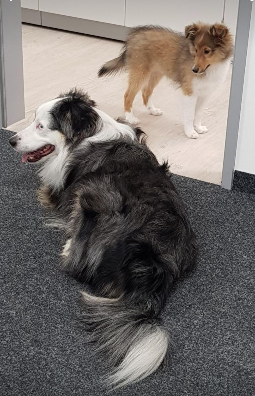 Brisco- Janosch mit Freund im Büro bei Frauchen💙💙