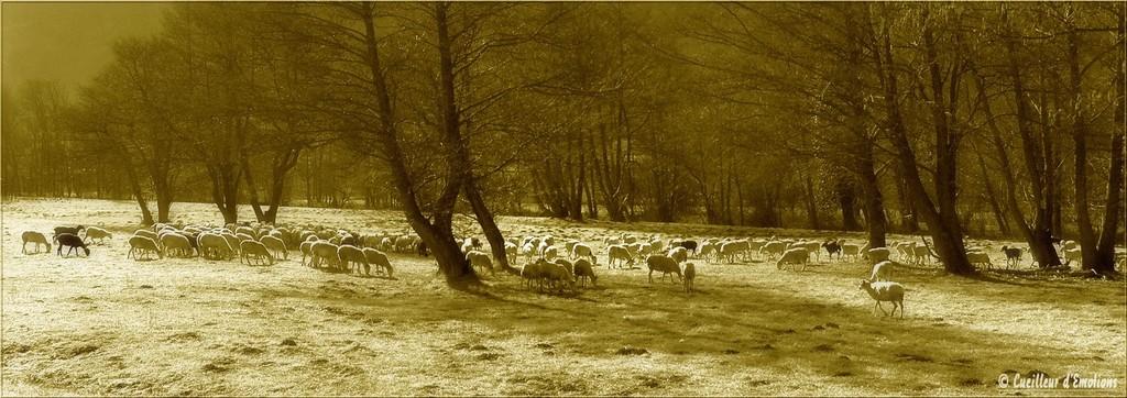 moutons sepia