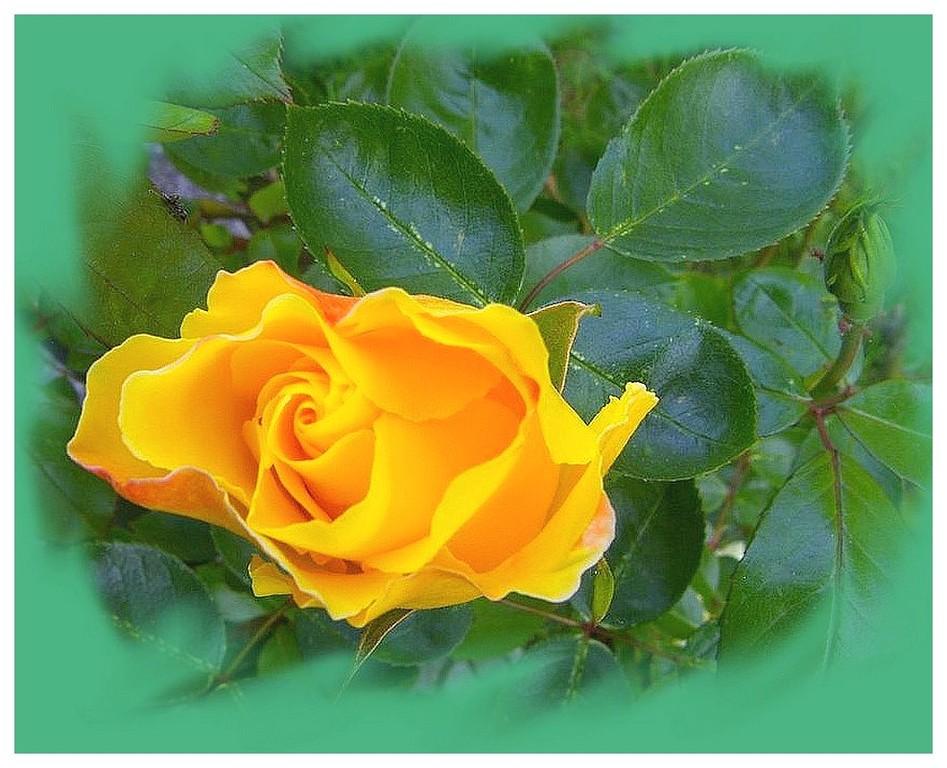 rose perso