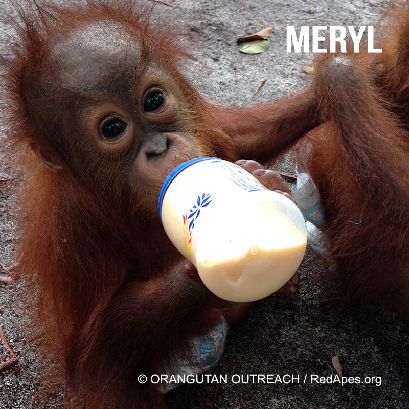 Meryl- ein Orang-Utan Baby, das bereits adoptiert werden konnte