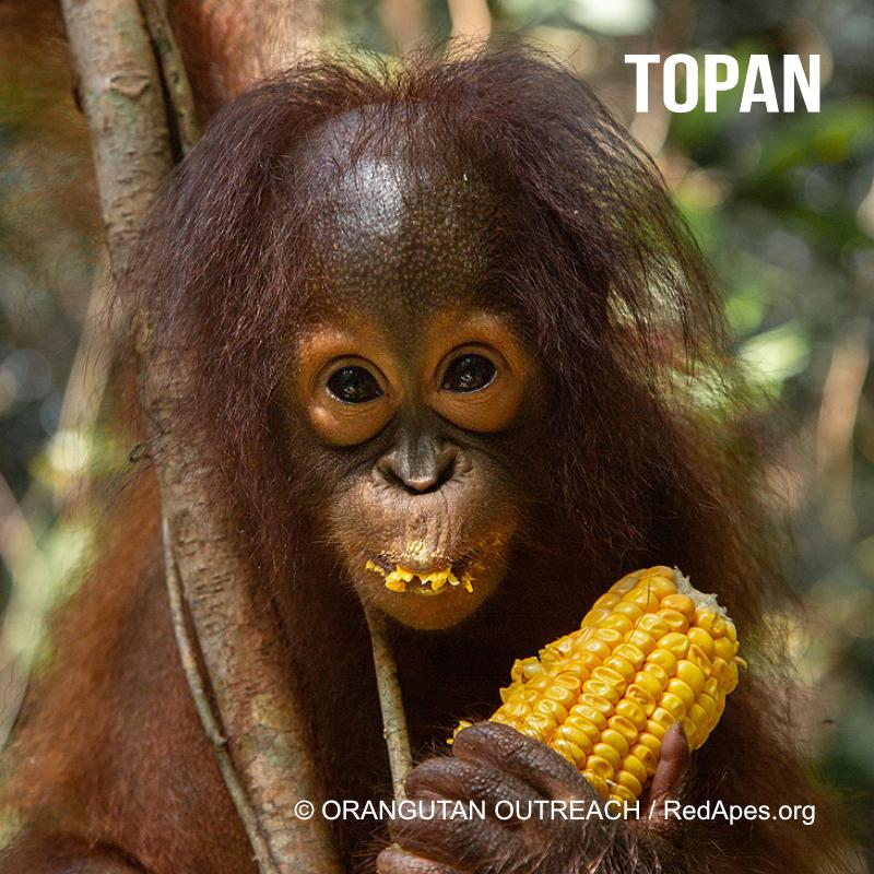 Topan - ein Orang-Utan Baby, das bereits adoptiert werden konnte