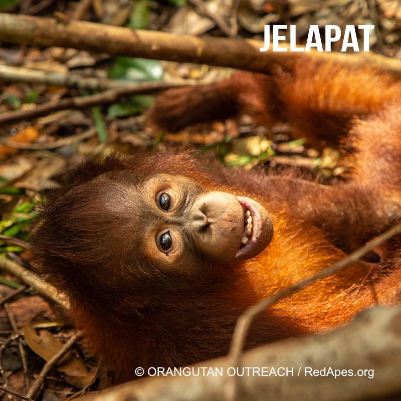 Jelapat - ein Orang-Utan Baby, das bereits adoptiert werden konnte