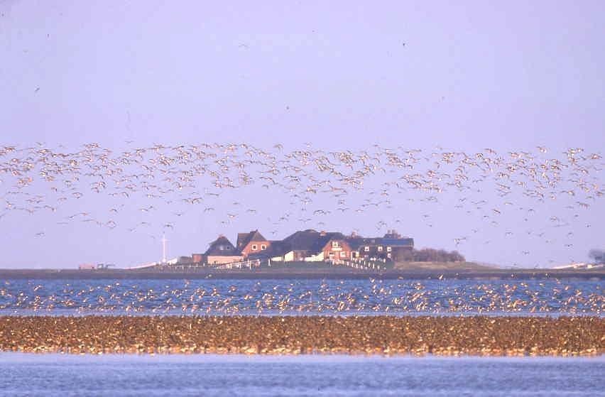 Knutts im nordfriesischen Wattenmeer