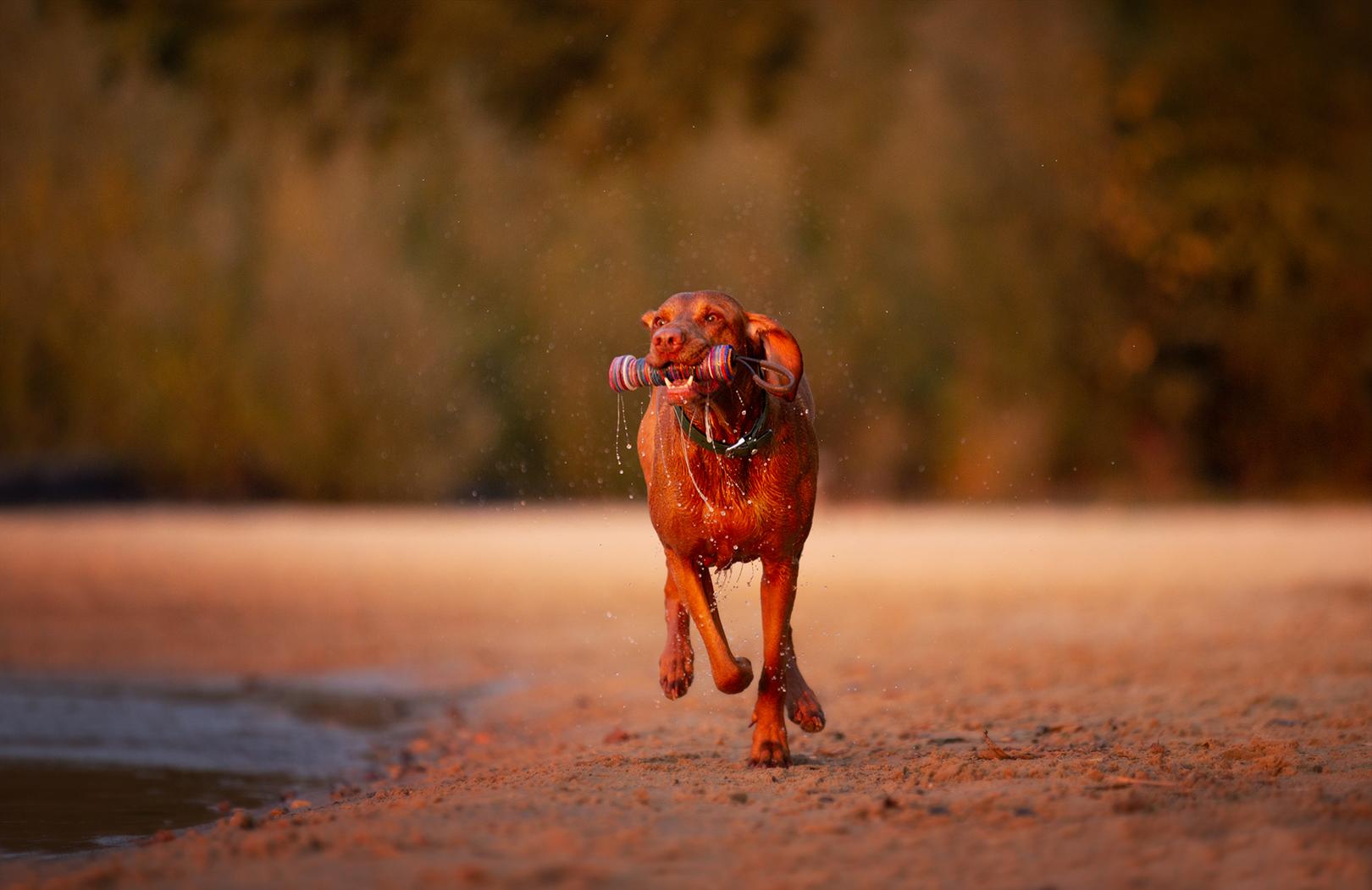 rennenden Hund fotografieren_Hund in Bewegung