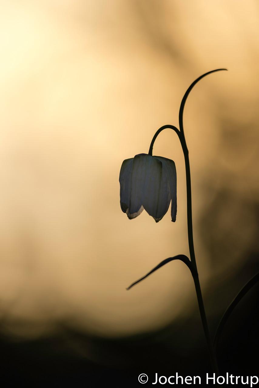 Gewöhnliche Schachblume (Kiebitzei)