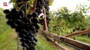 Guter Wein vom Zürichsee - der Klimaerwärmung sei Dank? (Photo: Schweizer Fernsehen)
