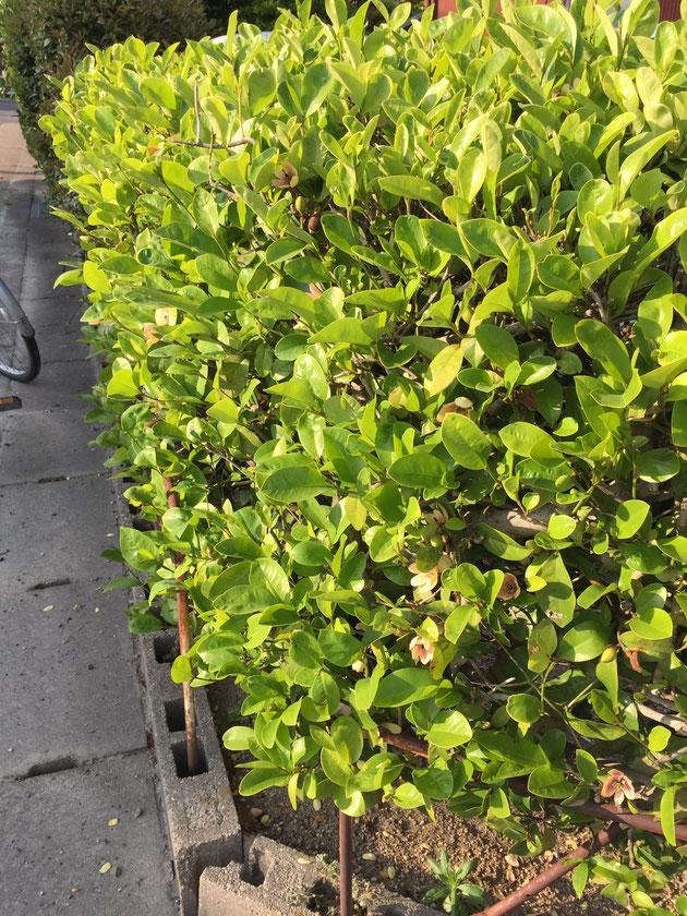 生垣としてはちょっと薄めのグリーンが素敵なカラタネオガタマ。
