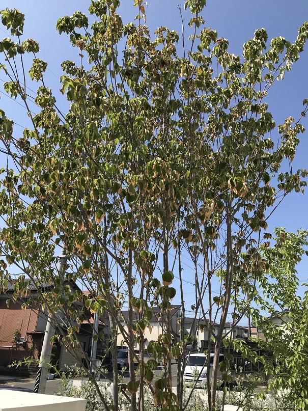 ヤマボウシの葉の先が枯れてきている。