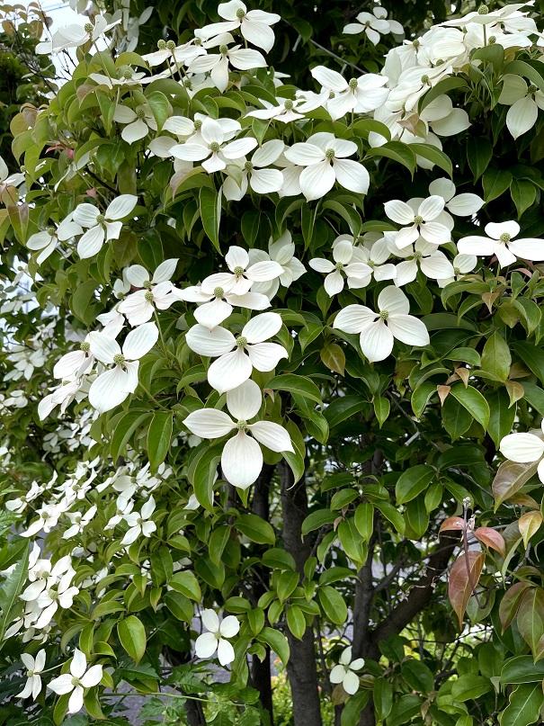 グランドガーデンさんの駐車場に咲いていたトキワヤマボウシ