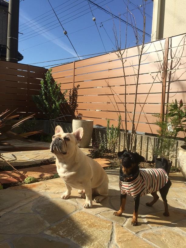 クウ太(フレンチブルドッグ)とナッチ(プチブラバンソン)のリラックスできるお庭の完成!