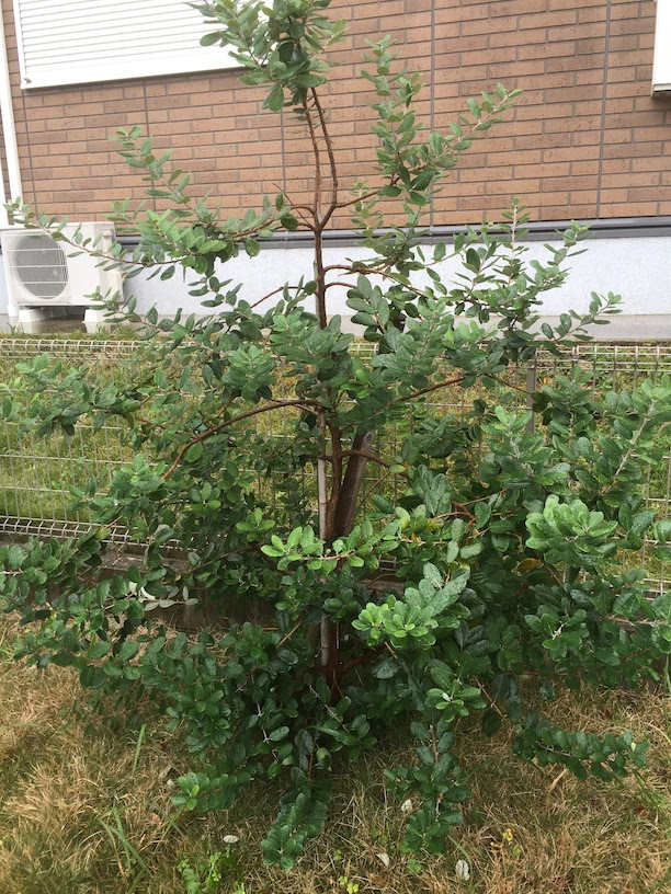 フェイジョアの木。常緑樹で葉っぱの色はオリーブに似た色。