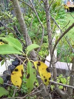お客様から送られてきたソヨゴの葉っぱ。黒くなっているがこれは?