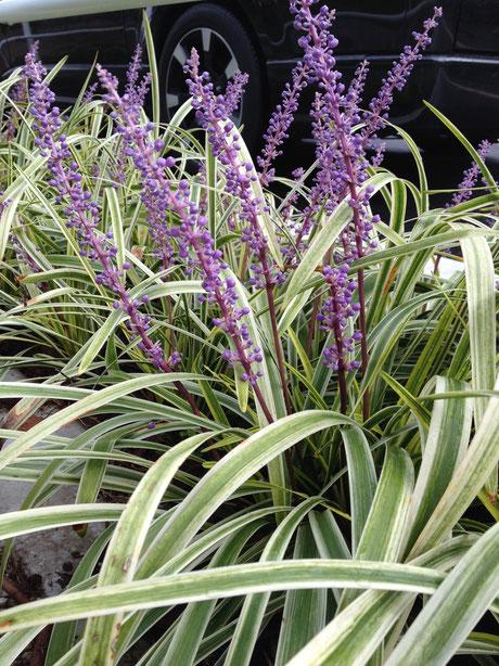 フイリヤブラン 美しい紫色の花を咲かせる
