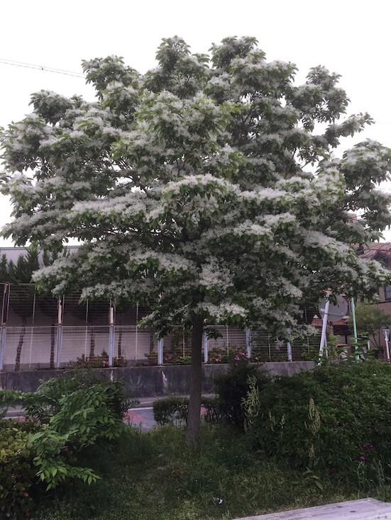 今奇麗なナンジャモンジャ。ヒトツバタゴの木です。