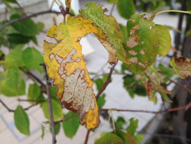 葉脈を残してイラガに食べられたジューンベリーの葉。