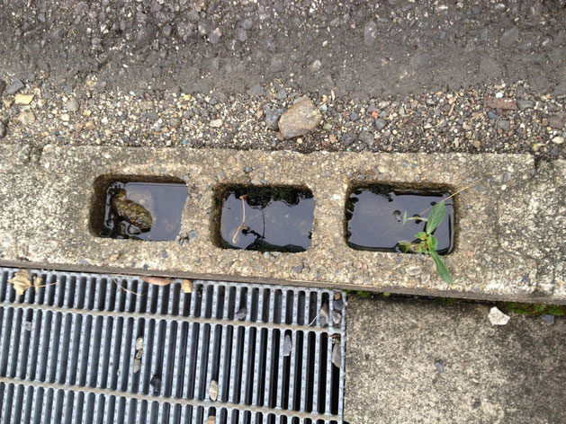 ブロックの穴にたまった雨水。ここにわんさかボウフラがわいていた。