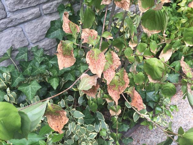 2018年のヤマボウシの葉。あまりの暑さで葉先が枯れてきた。