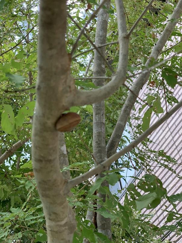 アオダモの幹に張り付いていたカタツムリ。カタツムリが犯人か?