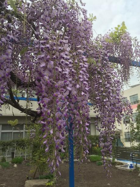 お客様のお家で既存のお庭から残したフジの花がきれいに咲いていました!!!