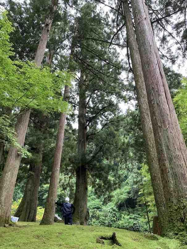 巨大の杉の林は苔むしてすごいマイナスイオンが放出されてました!珍しいロープワークでの剪定作業もやっていました。