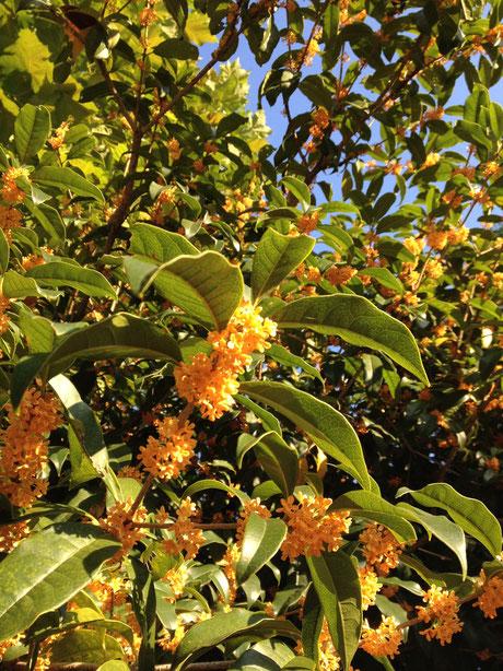 キンモクセイの花。見ただけで良い香りがしてきそう。