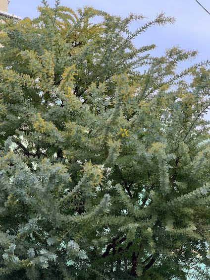 ミモザの木の真ん中のあたりに黄色い塊が見えるぞ!