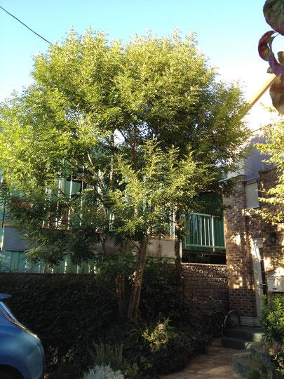 シンボルツリーに植えているシマトネリコ。