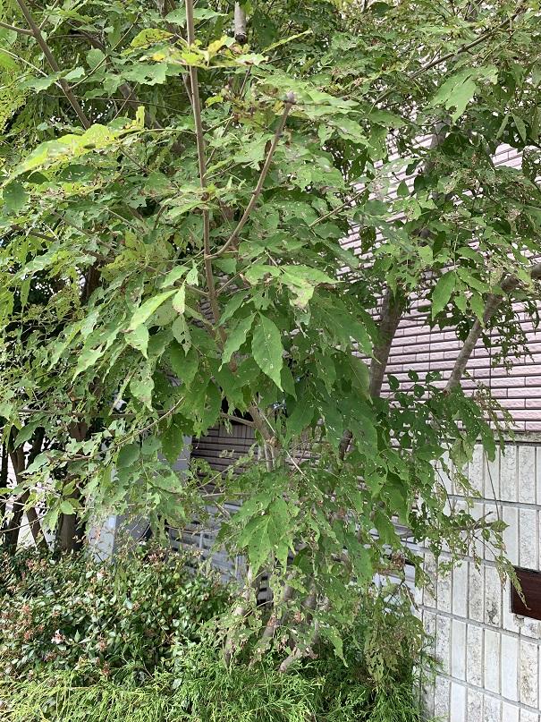 全体的に葉がボロボロになってしまったアオダモ
