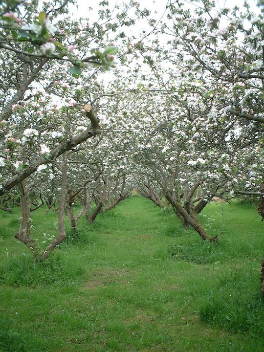 春になり一斉に花が咲いたリンゴ畑!
