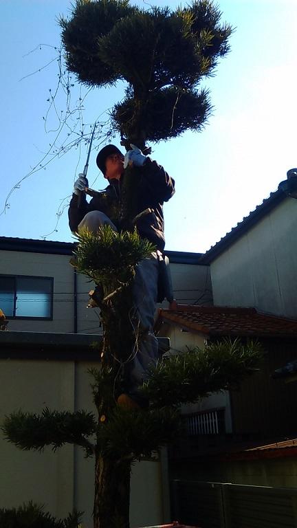 木に登りながら枝を切っていきます!!