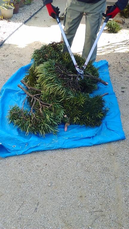 切り落とした枝は、処分しやすいように切り刻みます!