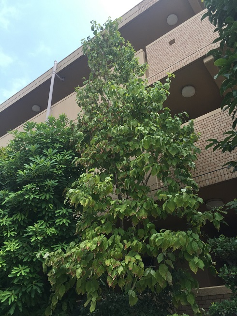 植木の背の高さも十分なハナミズキ。植えてから17年経ちます。