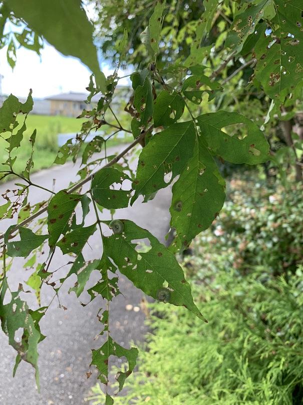 葉っぱの裏で丸まって食事している虫!!