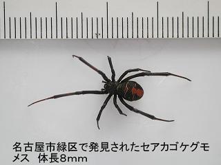 セアカゴケグモはこんな姿をしています