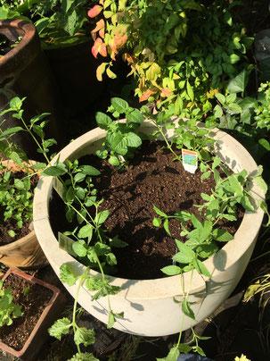 ミント植え付け時はまだ鉢に土が見える状態でした。