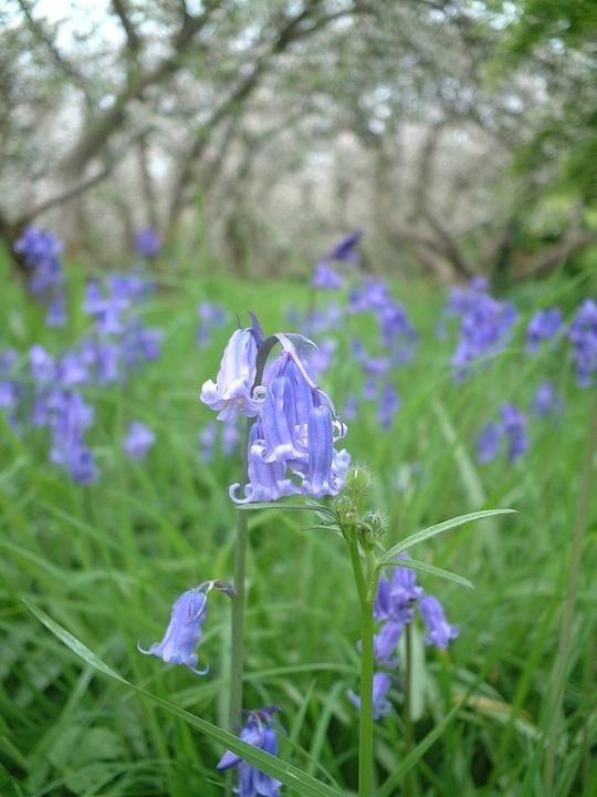 イギリスの春と言えばブルーベル。森の中でひっそりと咲くブルーベルはめちゃくちゃ美しい。