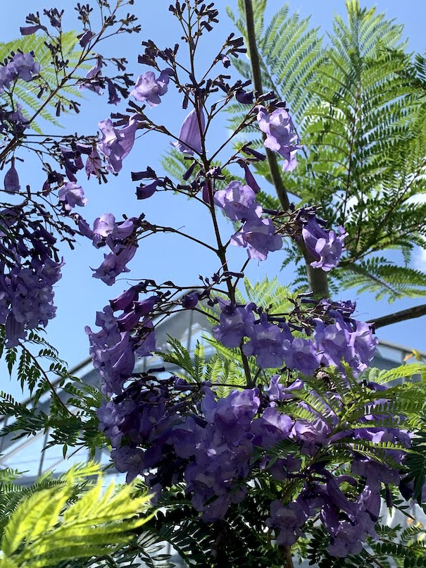 名古屋の東谷山フルーツパークで咲いたジャカランダの花。