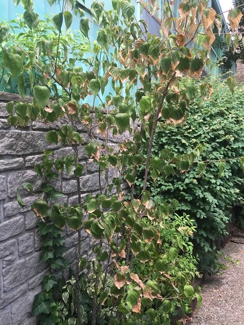 柴垣グリーンテックに植わっているヤマボウシ。葉先が枯れてきている。