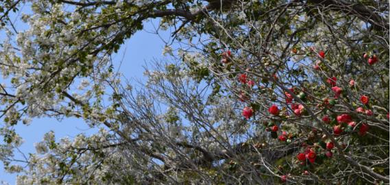 椿と桜の競演です。