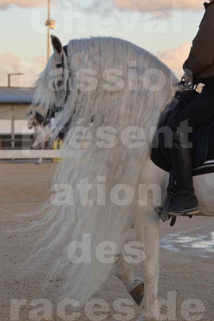 """Cheval Passion 2014 - Etalon """"GALAN""""  blanc écurie Alain LAUZIER - Notre Sélection - Portraits - 06"""