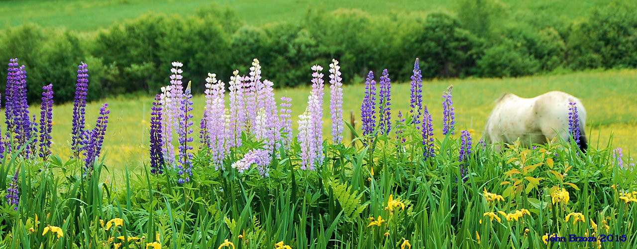 Colorful Lupines with Horse