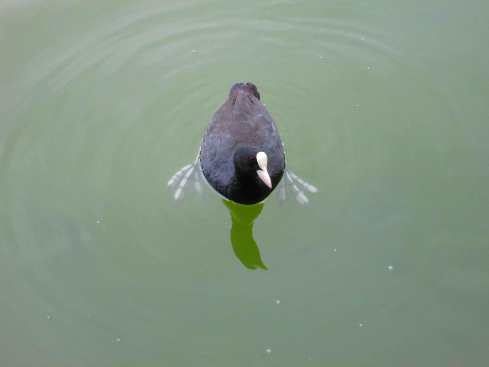 narzißtische Ente