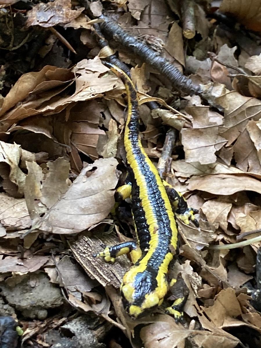 Salamandre au moment de notre randonnée sous les vieux arbres du Bager d'Oloron