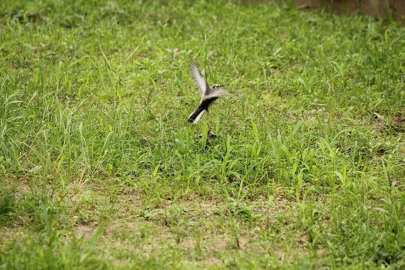 餌やり後飛び立つ親鳥