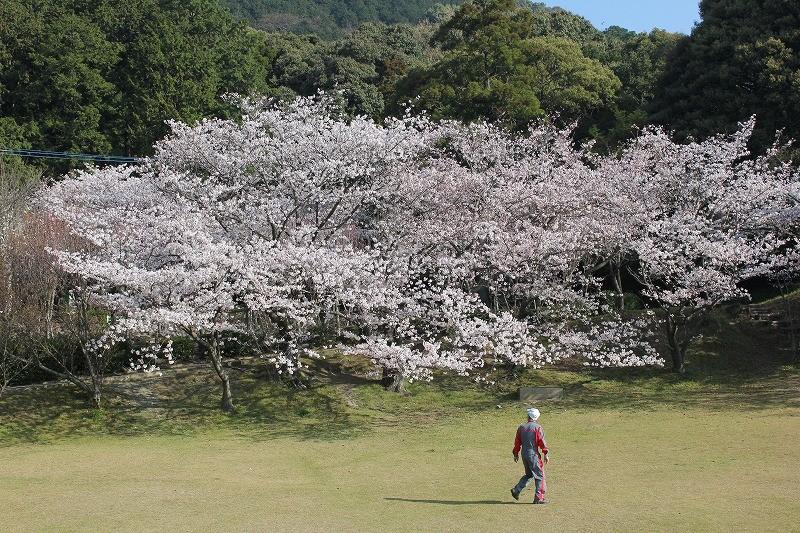 宮地嶽神社の桜