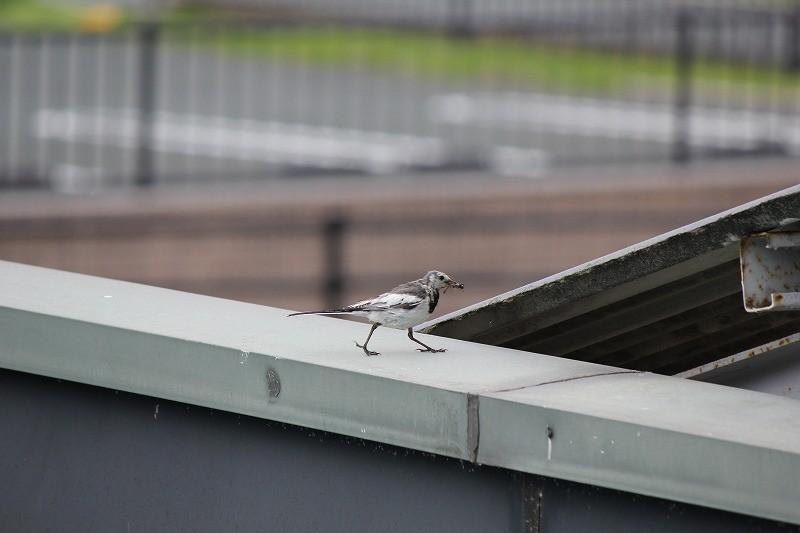 親鳥は餌運びに大忙し