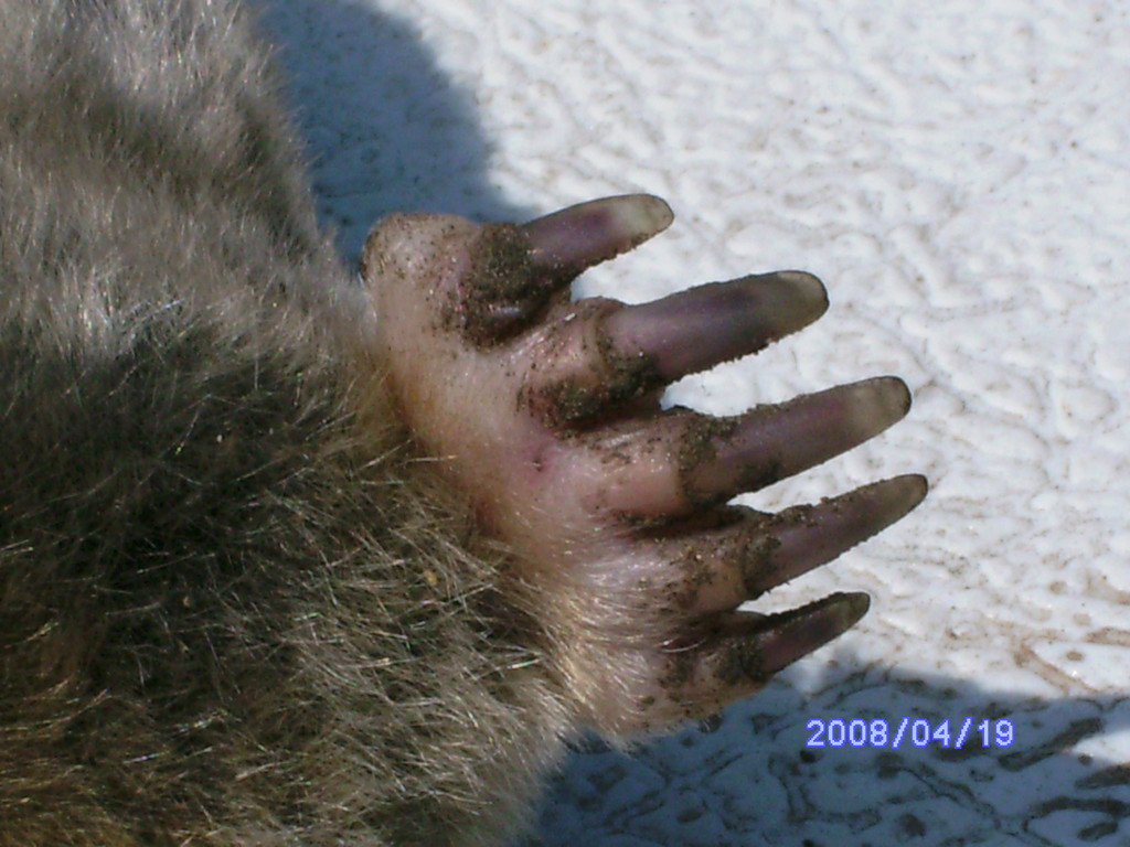 Front foot of Eastern Mole.