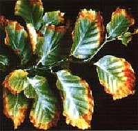 Kalium-Mangel-Symptome bei Buche