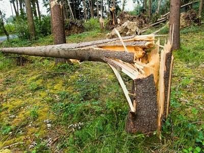 Vom Sturm gebrochene Fichte